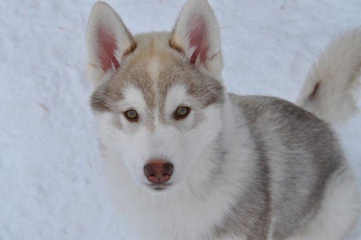 Фотки хаски фото собак породы хаски
